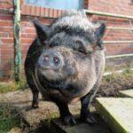 pig, sow, mammal